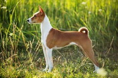 Hunting dog breed Basenji Royalty Free Stock Images