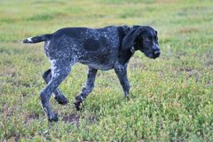 Hunting dog breed German Wirehaired pointer. On the walk Stock Images