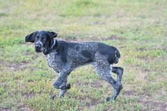 Hunting dog breed German Wirehaired pointer. On the walk Royalty Free Stock Photos