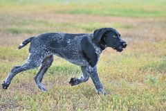 Hunting dog breed German Wirehaired pointer. On the walk Royalty Free Stock Photography