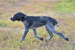 Hunting dog breed German Wirehaired pointer. On the walk Stock Photo