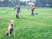 Hunting dog of  breeds  english hound sitting on the grass. Walking dogs stock image