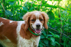 Hunting dog Brittany Spaniel Royalty Free Stock Photos