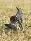 A hunting dog royalty free stock photography