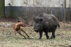 Hunting dog chasing wild boar Royalty Free Stock Photos