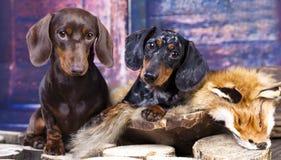 Hunting dog dachshund Royalty Free Stock Photos