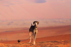 Hunting dog in the desert Royalty Free Stock Photo