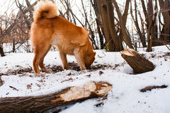 Hunting dog digging a hole Stock Photo