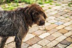 Hunting dog. Drathaar.Brown adult dog with sad eyes. A brown dog, a hunting dog is a drathaar stock photo