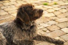 Hunting dog. Drathaar.Brown adult dog with sad eyes. A brown dog, a hunting dog is a drathaar. A hunting dog.- stock image royalty free stock image
