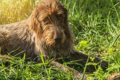 Hunting dog. Drathaar.Brown adult dog with sad eyes. A brown dog, a hunting dog is a drathaar stock photography