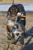 Hunting Dog with a Duck. Hunting dog retrieving a drake Mallard Stock Photography