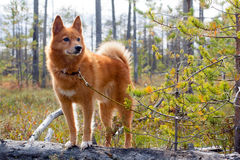 Hunting dog on the fallen pine Royalty Free Stock Photography