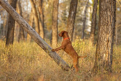 Hunting dog in field Stock Photos