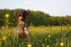 Hunting dog on a field. With yellow flowers ready for playing Royalty Free Stock Photos