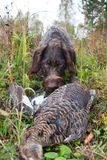 Hunting dog finding the wildfowl. Among the grass Royalty Free Stock Photography