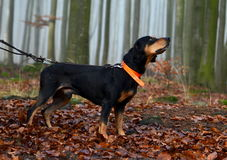Hunting dog in foggy forest Royalty Free Stock Photo