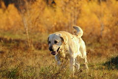 Hunting dog in the forest. Purebred hunting dog at work in the forest Royalty Free Stock Photo