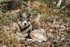 Hunting dog in the forest. Near the lodge Royalty Free Stock Photo