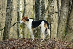 Hunting dog in forest. Hunting dog is standing on the background of the fall forest stock photography