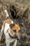Hunting dog fox terrier, got out of the hole on the river. Stock Photos