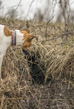 Hunting dog fox terrier looking into the fox hole. Hunting dog fox terrier looking into the fox hole Royalty Free Stock Photo