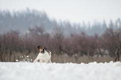 Hunting dog fox terrier, running in the snow in the wild. Hunting dog fox terrier, running in the snow in the wild Royalty Free Stock Image