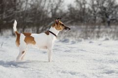 A hunting dog, a fox terrier, stands in the snow. wild land. A hunting dog, a fox terrier, stands in the snow. wild land Stock Photography