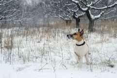 A hunting dog, a fox terrier, stands in the snow. wild nature. A hunting dog, a fox terrier, stands in the snow. wild nature Royalty Free Stock Photography