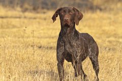 Hunting dog in front. Pointer hunting for gray partridge Stock Image