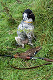 Hunting dog and game. Russian hunting Spaniel gun and a duck Royalty Free Stock Photo