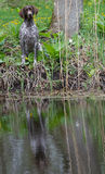 Hunting dog. German shorthaired pointer sitting at the water's edge Stock Image