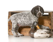 Hunting dog. German shorthaired pointer hunting dog on white background Stock Photos