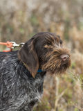 Hunting Dog. A German Wirehaired Pointer hunting dog Royalty Free Stock Photo