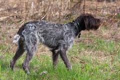 Hunting dog german wirehaired pointer on the field. Hunting dog german wirehaired pointer standing on the field Royalty Free Stock Photos