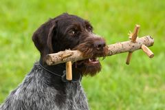 Hunting dog with training dummy. Hunting dog german wirehaired pointer with training dummy stock photo
