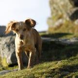 Hunting Dog Royalty Free Stock Photos