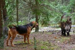 Hunting dog. Gonchak hound, a National dog breed of Belarus,  hunting on wild boar in green forest Royalty Free Stock Photography