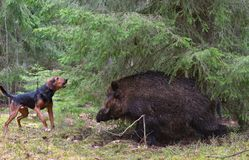Hunting with dog. Gonchak hound, a National dog breed of Belarus, hunting on wild boar in green forest Royalty Free Stock Photos