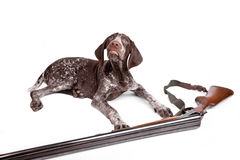 Hunting dog with a gun Royalty Free Stock Image