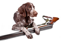 Hunting dog with a gun Stock Photos
