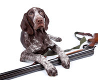 Hunting dog with a gun Stock Photo