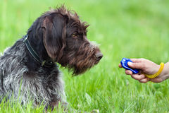 Hunting dog and hand with clicker Stock Photography