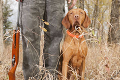 Hunting dog at heel Stock Image