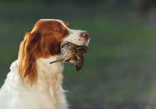 Hunting dog holding in teeth snipe Royalty Free Stock Images