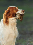 Hunting dog holding in teeth snipe Stock Images
