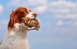 Hunting dog holding in teeth a woodcock, outdoors Stock Photos