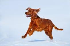 Hunting dog Irish Red setter on winter walk. Royalty Free Stock Image