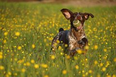Hunting dog joy. Hunting dog with a ball on a yellow field Royalty Free Stock Photography