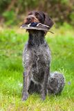 Hunting dog learns to keep game bird in its teeth. Hunting dog learns to keep game bird in his teeth, close up stock photos